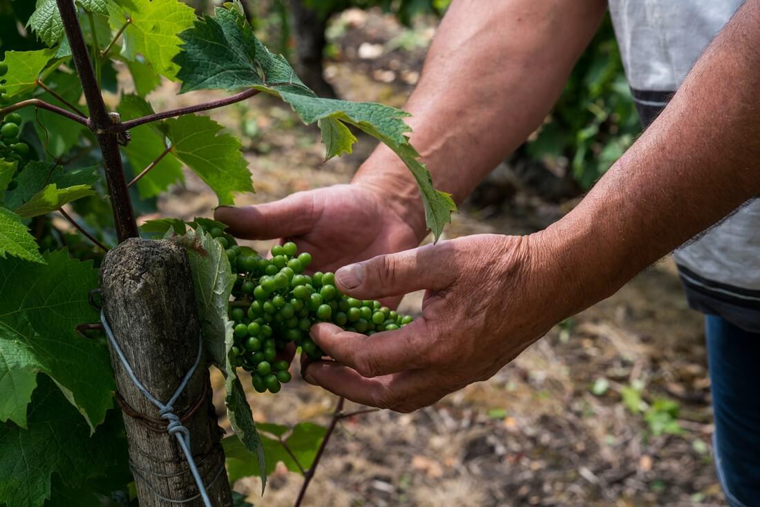 Loire druiven